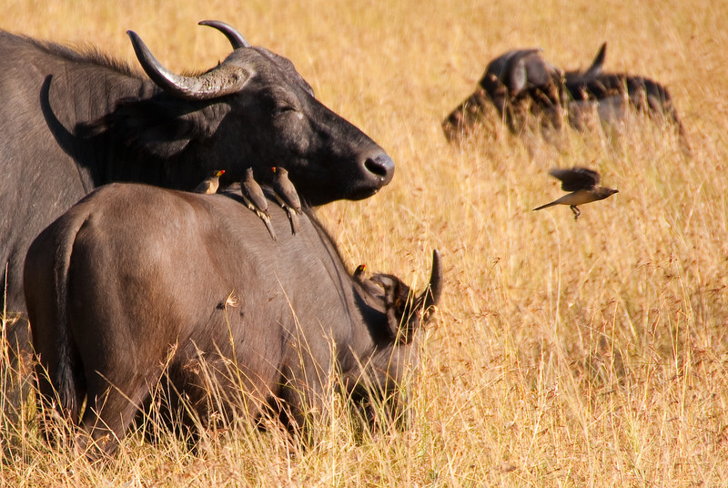 Cape Buffalo (Syncerus caffer) and Yellow-billed Oxpecker birds (Buphagus africanus) enjoy a symbiotic relationship on the Masai Mara
