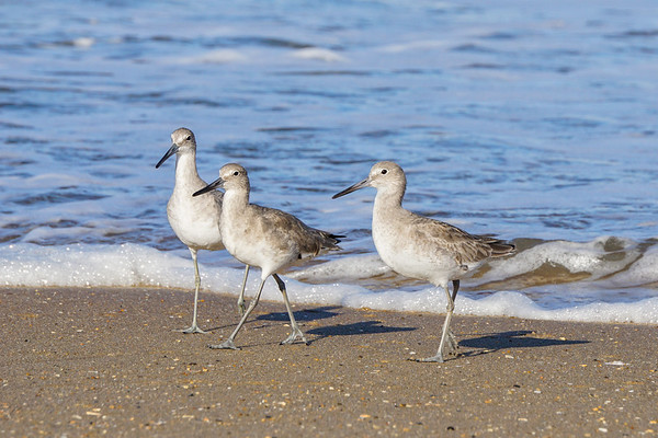 Three Willets 305