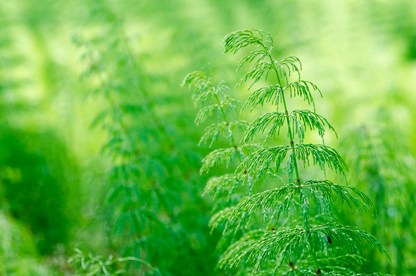 "Equisetum is a ""living fossil"""