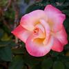 Pink Yellow Rose