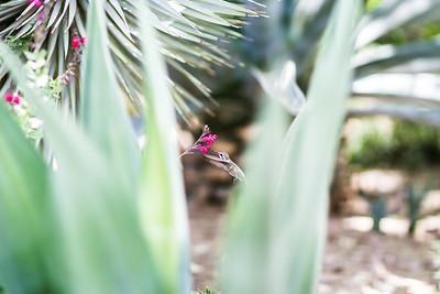 Arizona Hummingbird
