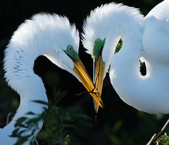 Geat Egrets