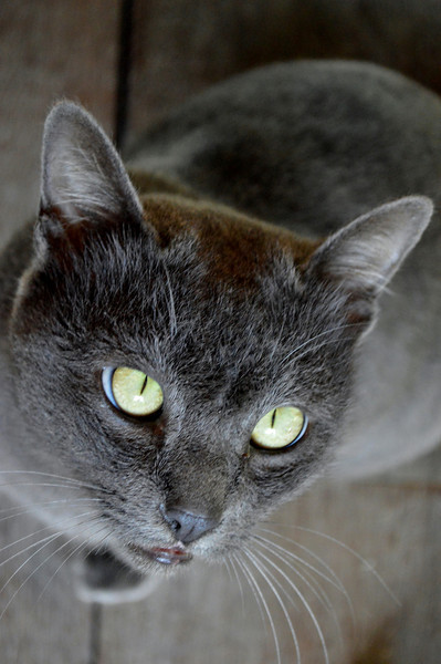 Gray Cat in Thailand