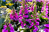 Pink Dahlia in a Flower Garden