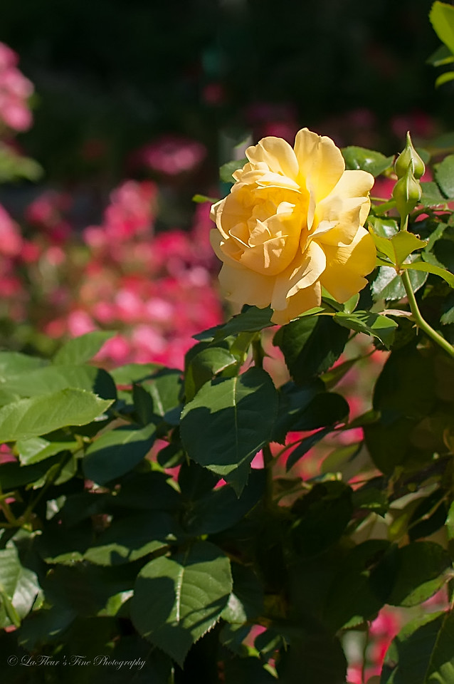 Yellow Rose...