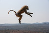 Olive Baboon soars high over the plain near Dol Dol, Kenya