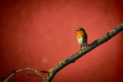 Redbeast (Erithacus rubecula)