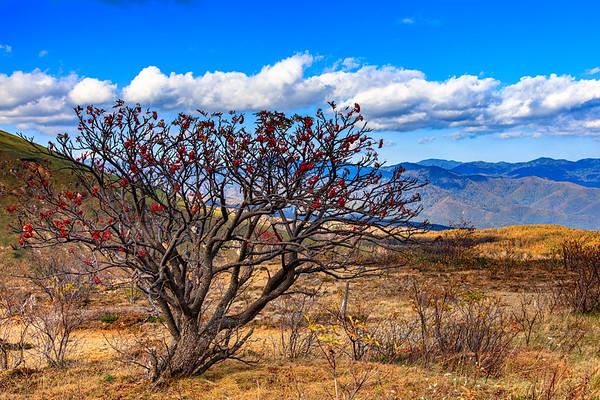An old rowan tree