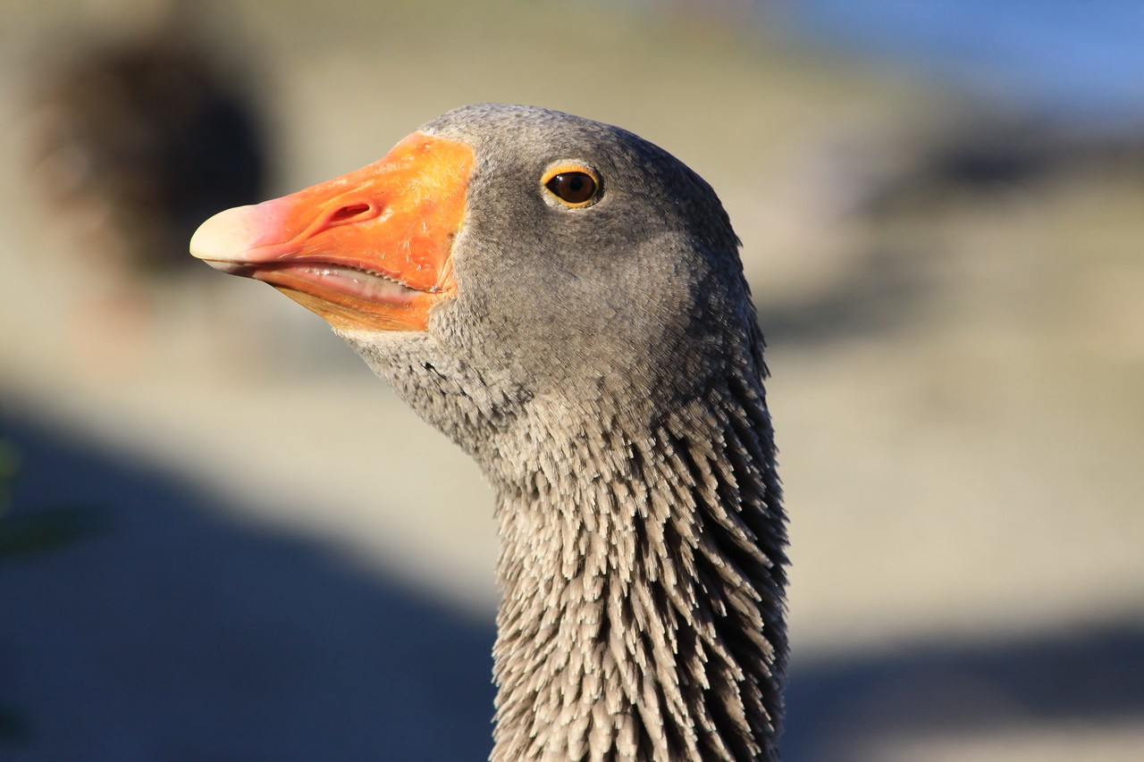 Sassy the goose