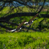 Geese Take Off 3