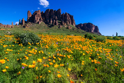 Mexican poppies at the Superstition Mountains.