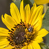 Busy Bee on a Black Eyed Susan