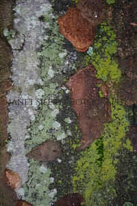 Grey and green lichens on wet tree bark