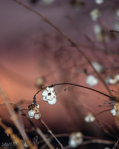 Snowberries at sunset