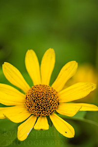 Ox-eye flower or sometimes called false sunflower.  Photo by Kyle Spradley | © Kyle Spradley Photography | www.kspradleyphoto.com