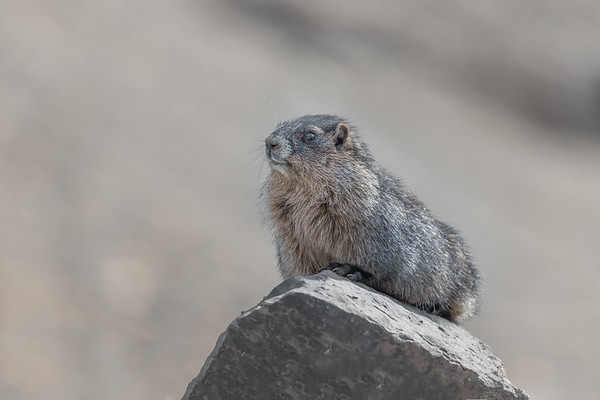 Snowbird Marmot