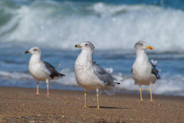 Gulls 9415