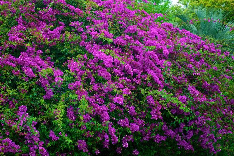 """ETC-3095  """"Purple Bougainvillea"""""""