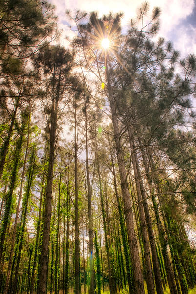 """ETC-3105  """"Sunburst Through the Tree Tops"""""""