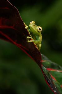 Frogs Heaven  Todos los Derechos Reservados Photography By Mauricio A. Ureña G. 2017