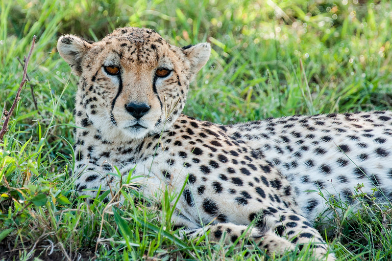 Called a Duma in Swahili, this Cheetah (Acinonyx jubatus) finds a shady place to rest out of the midday sun in the Masai Mara.