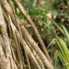 Bark Anole Lizard