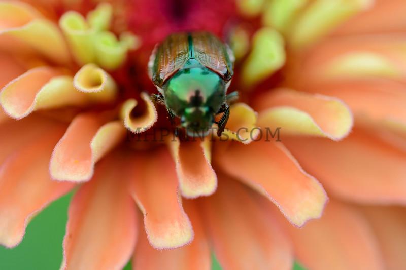 Japanese Beetle Nestled In Flower