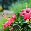Rain-Covered Hibiscus