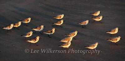 Sanderlings at Sunrise #1