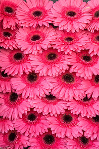 Rows of pink flowers