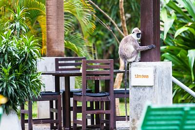 Grey Langur Sri Lanka
