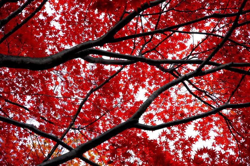 Japanese Maple #1