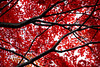 Japanese Maple #1