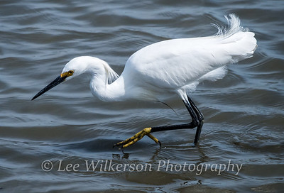 Snowy Egret Fishing (#10)