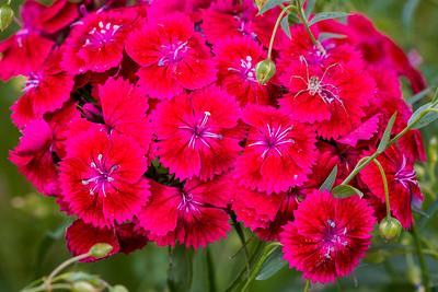 Sweet William, Dianthus barbatus, Linum perenne lewisii