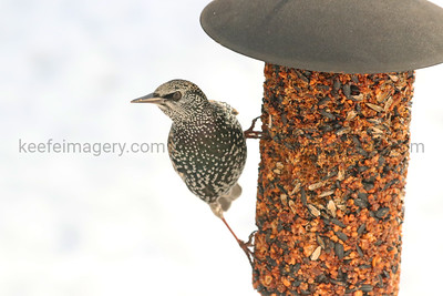European/Common Starling