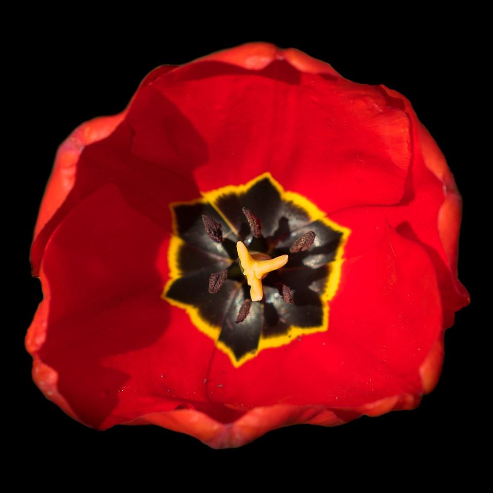 Red Tulip, Monticello