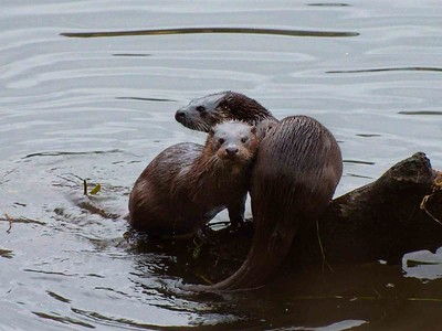 Otters on the Don