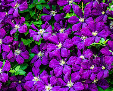 Flowers, Clematis