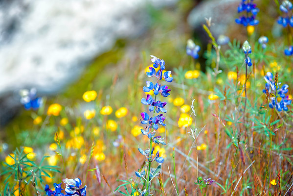 Lupins - Table Mountain-14