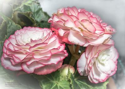 Pink and White Begonias