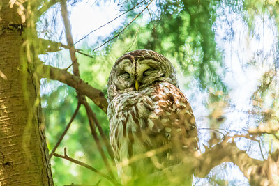 Barred Owl Trying to Sleep