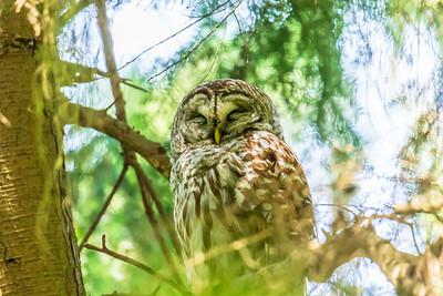 Barred Owl Trying to Sleep