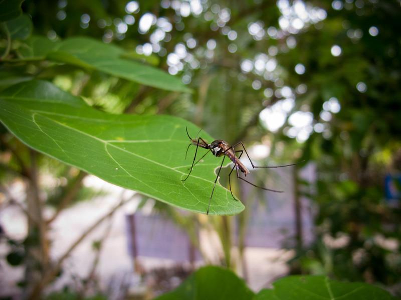 Mosquito?