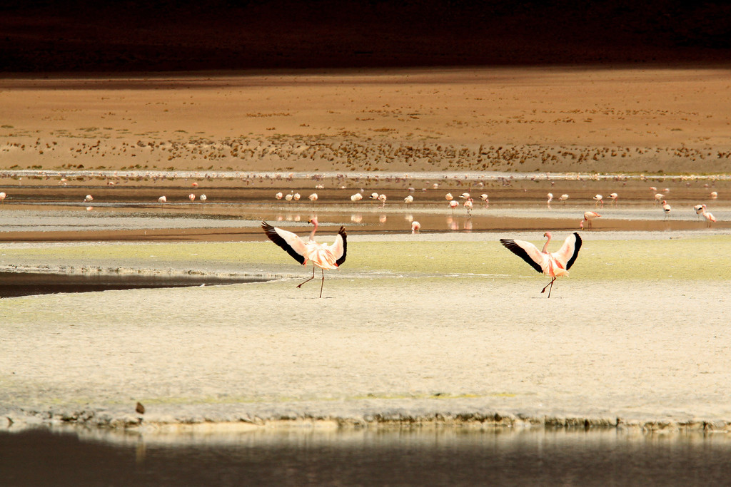 Dancing Flamingos