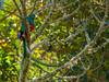 resplendent Quatzal male