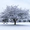 A Lone Snowy Tree 1/30/18
