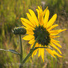 Sunshine on Sunflower