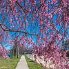 Cherry Blossoms 4/8/17