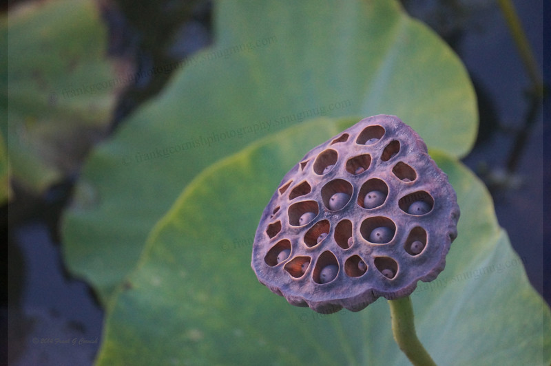 Water lily seed pod